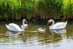 La famille de cygne avec des enfants de poussins de bébé badine des cygnes Photos stock