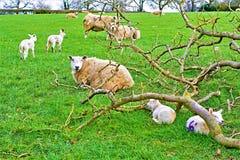 La famille de février ; Agnelant en hiver en retard, dans Ashbourne, Derbyshire images stock
