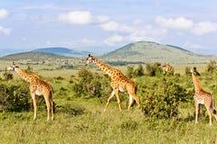 La famille de giraffes Images libres de droits