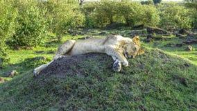 La famille de lion détend dans le masai Mara National Park Photographie stock libre de droits