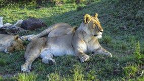 La famille de lion détend dans le masai Mara National Park Images libres de droits