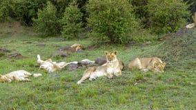 La famille de lion détend dans le masai Mara National Park Photo stock