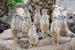 La famille de Meerkat les prennent un bain de soleil Images libres de droits