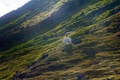 La famille de polaire concerne l'île Franz Josef Land de Northbrook Image stock