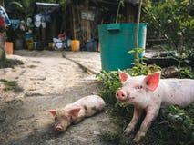 La famille de porc photographie stock