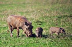 La famille de warthog sur la savane dans le Ngorongoro. La Tanzanie, Afrique. Images stock
