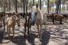 La famille des chevaux communiquent dans le corral Image libre de droits