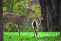 La famille du cerf commun Photo libre de droits