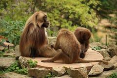 La famille du gelada monkeys l'OD se reposant une roche Image stock