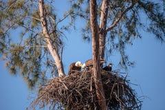 La famille du leucocephalus de Haliaeetus de l'aigle deux chauve parents avec t photo stock
