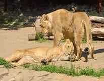 La famille du Panthera asiatique Leo Persica de lions se repose Photographie stock