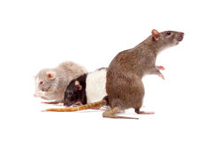 La famille du rat Photo stock