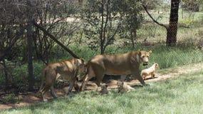 La famille du ` s de lion avec des petits animaux marchent, l'Afrique du Sud Photographie stock