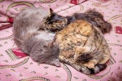 La famille du sommeil de chats sur le divan Papa, maman et bébé sur le va image stock