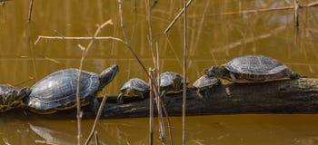 La famille heureuse de tortue Photo libre de droits