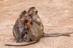 La famille monkeys (Crabe-mangeant le macaque) le froid dans le matin au parc Image stock