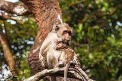 La famille monkeys (Crabe-mangeant le macaque) le froid dans le matin sur la branche Photographie stock