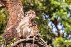La famille monkeys (Crabe-mangeant le macaque) le froid dans le matin sur le branc Photo stock
