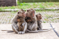 La famille monkeys Crabe-manger le froid de macaque dans le matin au parc Photos libres de droits