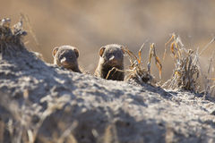 La famille naine de mangouste apprécient la sécurité de leur terrier Photographie stock
