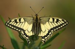 La farfalla; Immagini Stock