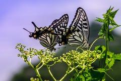 La farfalla Fotografie Stock