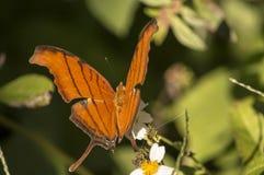 La farfalla arancio di coda di rondine della tigre fotografia stock