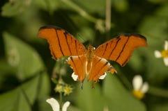 La farfalla arancio di coda di rondine della tigre immagini stock libere da diritti