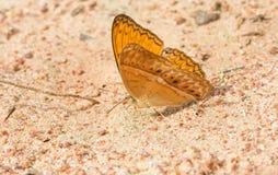La farfalla arancio mangia il sale lecca Fotografia Stock
