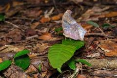 La farfalla assyrian reale Fotografia Stock Libera da Diritti