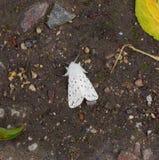 La farfalla bianca americana del parassita di insetto (hyphantria cunea) Fotografia Stock Libera da Diritti