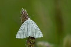 La farfalla bianca americana o hyphantria cunea del parassita di insetto sull'alta erba, montagna di Plana Immagini Stock Libere da Diritti