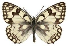 La farfalla bianca marmorizzata di Esper isolato fotografia stock