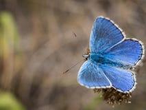 La farfalla blu di bellargus di Adone Polyommatus nella lycaenidae della famiglia fotografie stock