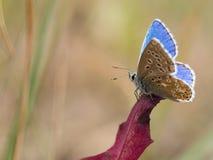 La farfalla blu di bellargus di Adone Polyommatus nella lycaenidae della famiglia fotografie stock libere da diritti
