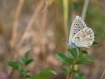 La farfalla blu di bellargus di Adone Polyommatus nella lycaenidae della famiglia fotografia stock libera da diritti