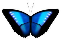La farfalla blu di Morpho ha isolato Fotografia Stock Libera da Diritti