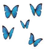 La farfalla blu di morpho (menelaus di Morpho) Fotografia Stock