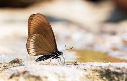 La farfalla Blu-a strisce del mimo fotografie stock