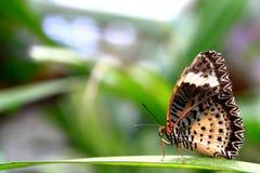 La farfalla cammina sui fogli Immagini Stock Libere da Diritti