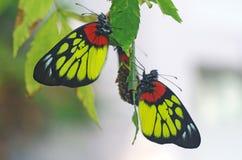 La farfalla che riposa dopo emerge dalle crisalidi fotografia stock