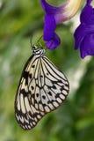 La farfalla che si siede sul fiore blu immagini stock