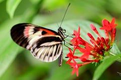 La farfalla chiave del piano sul lanceolata rosso di Pentas fiorisce Fotografia Stock Libera da Diritti