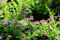 La farfalla comune del gabbiano Immagine Stock