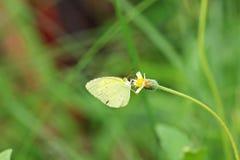 La farfalla comune di giallo dell'erba è su un fiore giallo Fotografia Stock