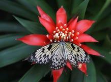 La farfalla del leuconoe di idea sta sedendosi sul fiore fotografia stock libera da diritti