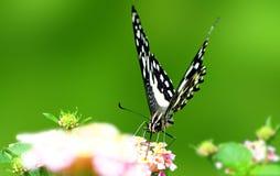 La farfalla della calce Fotografia Stock Libera da Diritti