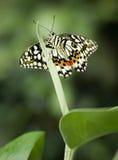 La farfalla della calce Fotografia Stock