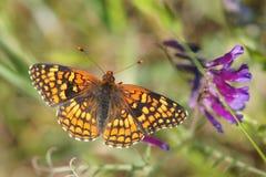La farfalla della fritillaria di Coronis si alimenta un nettare porpora del fiore Fotografia Stock