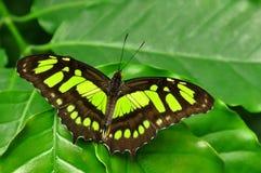 La farfalla della malachite fotografia stock